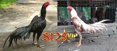 ada artikel kali ini saya akan membagikan Ayam Siam S128vip Yang Sangat Populer Di Indonesia. Permainan sabung ayam sudah menjadi tradisi di seluruh pulau Indonesia, dikarenakan memang sudah terkenal sejak jaman nenek moyang di Indonesia.