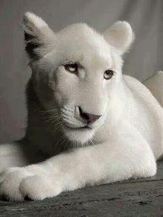 white lion..what a cute face