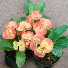 Corona de 'Suncris' Espinas (Euphorbia milii híbrido)