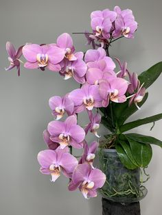 Phalaenopsis Orchid Care, Moth Orchid, Types Of Orchids, Growing Orchids, Plant Identification, Just Giving, Houseplants, Floral Arrangements, Bloom