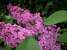 Home And Garden, Plants, Flowers, Syringa Vulgaris, Landscape, Flores, Nature, Ficus