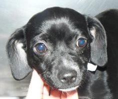 Lilly is an adoptable Chihuahua Dog in Union, MO. I am about 4 mos old and ready for a permanent home of my own. For more information on this dog or any of our adoptable pets, please call the shelter ...