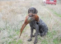 Hunting Dogs - 25 Pictures