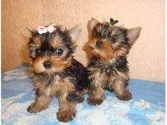 AKC REGISTERED HOME TRAINED YORKIE PUPPIES FOR FREE ADOPTION.