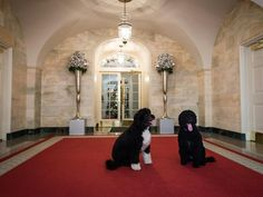 In the Lower Cross Hall, first dogs Sunny and Bo take a short break from all the exhausting holiday festivities at the White House. Photo by Ken Cedeno/Getty Images