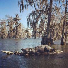 Alligator in the swamp    Lake Martin, Louisiana