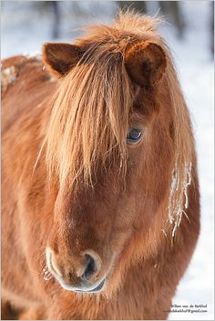 How can you not love the Icelandic horses! Fully equipt for this cold weather, a big heart, willing to work and so amaising to ride!!!