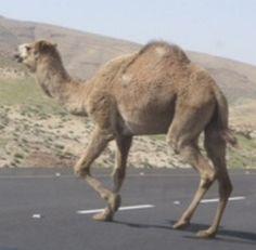 Our camel fan lives in the Negev Desert.