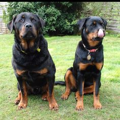 This almost looks like Maggie and Gus.except Gus is much larger and darker than the male in this picture Mans Best Friend, Best Friends, Rottweiler Dog, Large Dog Breeds, Warm Fuzzies, Dog Walking, I Love Dogs, Pet Birds, Doggies