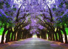 Jacarandas Walk, Pretoria, South Africa