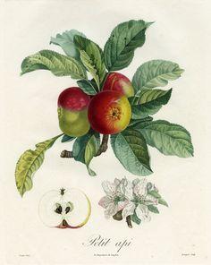 Pierre Jean François Turpin. Petit api from Traitè des Arbres Fruitiers by M. Duhamel du Monceau, 1808-1835. Hand-colored engraving.