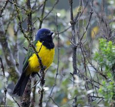 Black-chested Mountain-Tanager - Cnemathraupis eximia