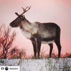 Nå kan Rudolf ta en pause etter en travel desember.  #reiseblogger #reiseliv #reisetips  #Repost @lessisw with @repostapp  Reindeer in pink light Location: Elgsnes close to Harstad 05.01.17 #northernnorway #ig_nordnorge #nature #nature_perfection #natura_stop #norway_photolovers #shotsofeuropa #picket_allnature #dreamynorway #reiseradet #norgesbeste #photo_smiles_world #loves_norway #ilovenorway #fever_natura #earthislimit #tv_allnature #sky_brilliance