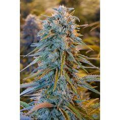 Blue Dream Feminised Seeds #stoned #bekifft