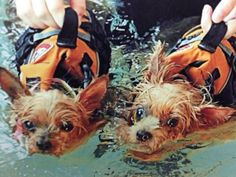 Sasha and Solomon, JC Hayward's dogs, got the chance to swim at a pet resort in Va., while JC was traveling recently.  More pics here: http://on.wusa9.com/P4xKVO