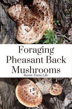 Foraging Pheasant Back Mushrooms & Recipes - Rustic Farm Life Edible Wild Mushrooms, Garden Mushrooms, Growing Mushrooms, Stuffed Mushrooms, Chicken Of The Woods, Mushroom Hunting, Wild Edibles, Edible Plants, Mushroom Recipes