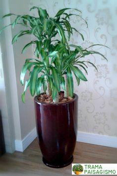 Paisagismo em Apartamentos: Dracena Fragrans. Ideal para espaços internos com luz difusa. Essa acompanha um belo vaso de fibra de vidro. #paisagismo #paisagismosp #plantanovaso #dracena #vasodefibradevidro #vasoecor #decoracao - Garden in Apartments - Garden in Balcony Landscaping - #indoorgarden #plants #home #indoorplants #landscaping #green #nature #tropicalplants