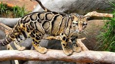 "Clouded Leopard ~ Miks' Pics ""Animals V"" board @ http://www.pinterest.com/msmgish/animals-v/"