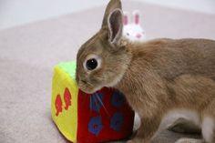 ICHIGO san 435 いちごさんうさぎ rabbit bunny netherlanddwarf brown cute pet family ichigo ネザーランドドワーフ ペット いちご うさぎ