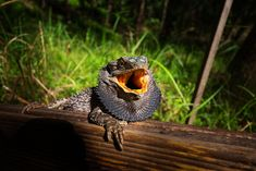 The Bearded Dragon Diet – 7 Top Foods Eastern Bearded Dragon, Bearded Dragon Diet, Pet Dragon, Reptiles, Lizards, Pets, Animals, Dragons, Animales