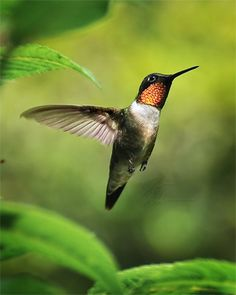 ♥ hummingbird in flight--Nature and Wildlife Photography Gallery - Page 2--A gallery of fine art nature and wildlife photography including bears, deer, birds captured in flight, butterflies, the various wildlife of the Southern Appalachian mountains. Also includes flowers, floral photos, and other nature related themes.