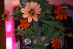 """From the International Space Station,"""" Monday Motivation: Space Flower garden proving through challenge and continuous effort comes growth. Scott Kelly, International Space Station, Earth From Space, Growing Flowers, Zinnias, Embedded Image Permalink, Flower Power, Effort, Challenges"""