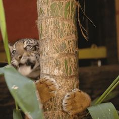 sdzoo: Two baby tigers explore Tiger Trail at San Diego Zoo... by fluffytherapy
