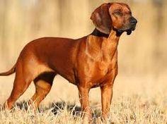 """Résultat de recherche d'images pour """"chien de recherche au sang de la montagne bavaroise"""""""