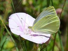Butterfly, Libar, Blanquita Kool