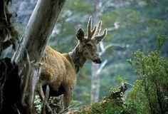 """HUEMUL: UN CIERVO BIEN PATAGÓNICO. - El huemul es un cérvido exclusivo de los bosques subantárticos de la Argentina y Chile y una de las ocho especies de ciervos nativos de nuestro país. Su aspecto es robusto, con extremidades relativamente cortas y orejas grandes de 20 cm o más de largo. Los machos poseen astas que """"mudan"""" anualmente y que normalmente son bifurcadas, pero en algunos casos presentan una punta adicional, generalmente en la rama más larga. El macho es más grande que la hembra…"""