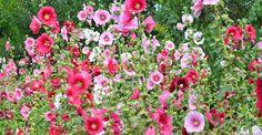 Paradis, Hollyhock, Nature, Star Shape, Cottages, Perennials, Harvest, Seeds, Fresh