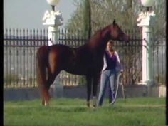 Muscat ~ 1st Triple Crown Arabian Stallion ~ magnificent floating trot