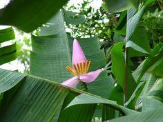 Flor de bananeira - Floripa
