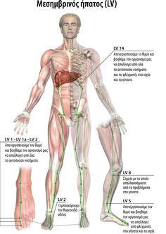 mesimbrinos ipatos medium Allergy Asthma, Body Therapy, Reflexology, Acupuncture, Feel Good, Anatomy, Health Fitness, Healing, Yoga