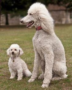 Non-moulting breeds of dog © Chris Joyner
