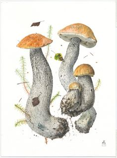 http://www.pelcor.com/mushrooms/PagesOriginals/Leccinum versipelle IV Or.html