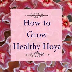 How to Grow Wax Plant, Hoya carnosa
