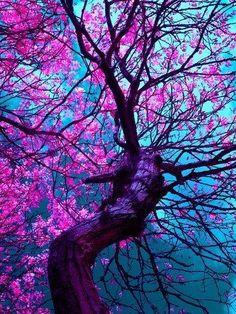 Cherry Tree, Kyoto, Japan fb #enchantednature