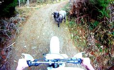 Hahahaha! Angry ram attacks motorcyclist - Original - #Ram #Animals #Funny