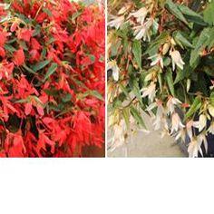 Begonia, Bossa Nova Red, Bossa Nova White Large Containers, Begonia, Hanging Baskets, Looking Stunning, F1, Nova, Bloom, Flowers, Plants