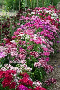 Sweet William aka Dianthus. It's in the annual section, so it's inexpensive, but tends to come back every year like a perennial.