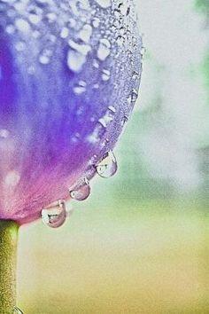 steel canvas Other tulip flower stem water drops droplets macro nature petal