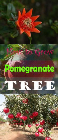 How to Grow Pomegranate, Pomegranate From Seed,Grow Your Own Pomegranate,Pomegranate,Pomegranate Pomegranate,Pomegranate Photos,