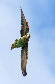 Cape Parrot: South Africa's Favorite Bird: