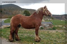 Caballo de Raza Burguete, Burguete Horse is a heavy draft from northern Spain, Navarra region. The name in Basque is Aurizko zaldia. Its history is unknown to me, there might be some Spanish references about it. It's very rare and in danger of extinction.