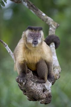 Capuchin Monkey in crook of tree branch, Pantanal Brazil  Darrel Gulin Photography