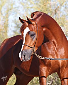 Arabian Horses on Pinterest | Arabian Stallions, Egyptian ...