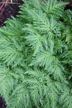Selaginella,buy Stauntons Spikemoss for sale,Plants on-line-Plant Delights Nursery, Inc.