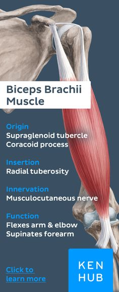 Pin our cheat sheet about the #anatomy of the legendary biceps muscle and #learn more about all #muscles and more on Kenhub