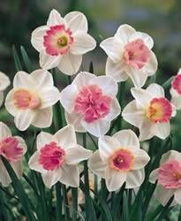 Narcissi large-cupped 'Assorted Pink Colors' Daffodil Large Cupped Mixed Pink Colors Fall Bulb Plant